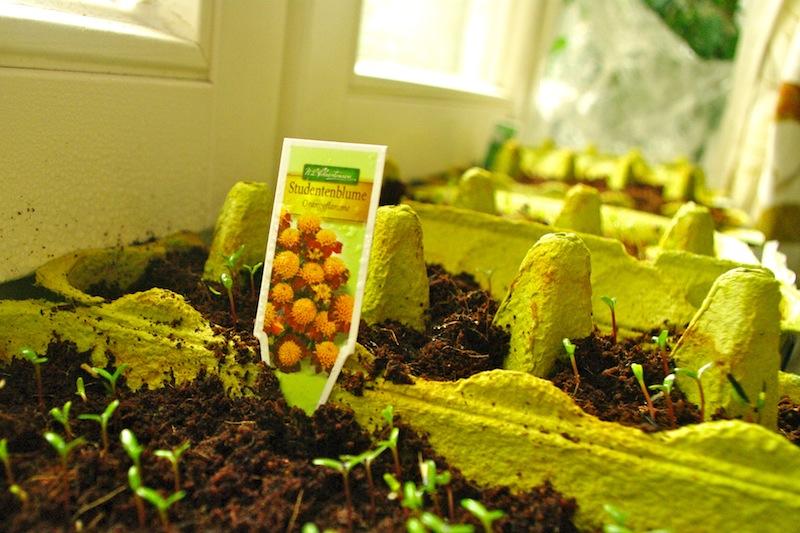 Studentenblumen gehen auch für Gärtner mit abgeschlossenem Studium.