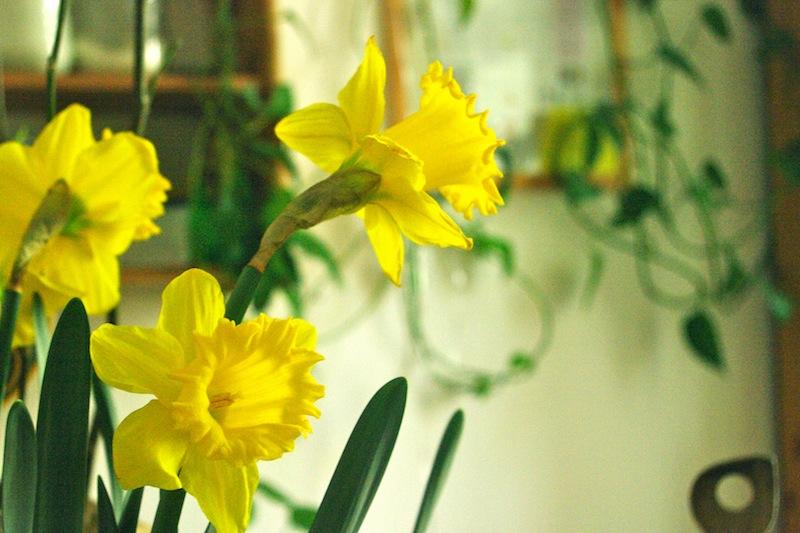 Auch in der Küche sind die Osterglocken schön anzusehen. Die Zwiebeln kann man bis zum Herbst aufheben, dann auspflanzen - und im kommenden Frühjahr im Grünen bewundern.