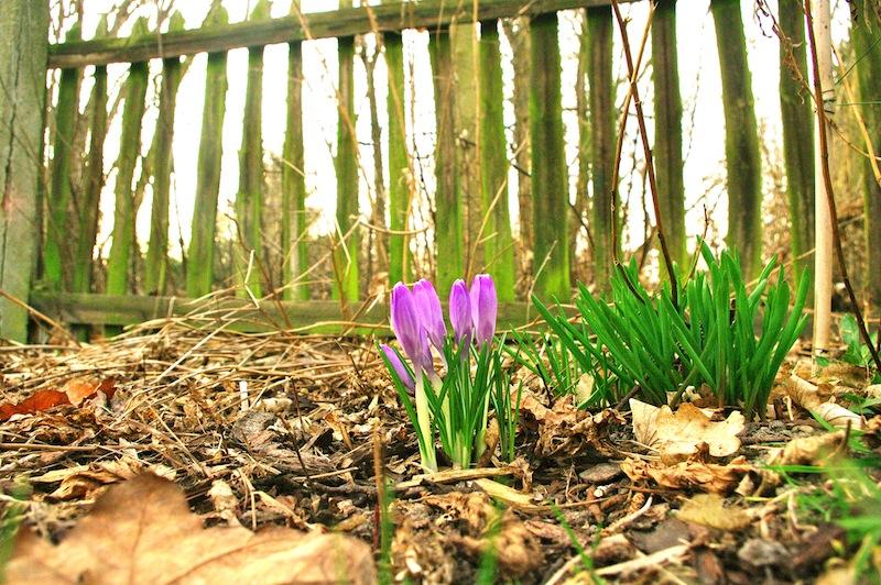Wenige Frühlingsblüher schafften es durch den Rindenmulch. Nächstes Jahr, Babys!